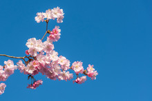 Pink Cherry Blossom Of Spring Extend From A Tree Against A Perfect Blue Sky