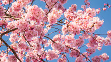 Cherry Blossoms Filling The Sky With A Mass Of Pink Against A Blue Background