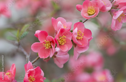 flowers of japanese quince tree - symbol of spring, macro shot with blurry backg Poster Mural XXL