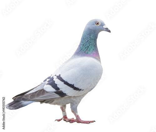 Fototapeta close up fulll body of speed racing pigeon bird isolate white background obraz
