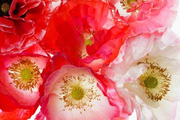 Panel Szklany Maki poppy flowers