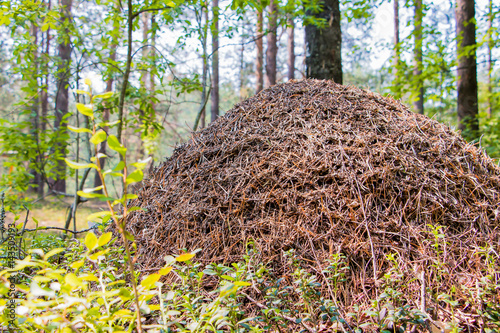 Photo Anthill in the forest