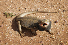 Bearded Dragon Lizard With Angry Open Mouth Is Aggressive And Defensive In Desert Outback Australia.