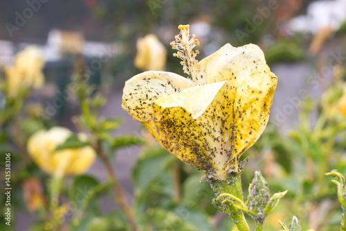 Photo Mealybug on hibiscus flower