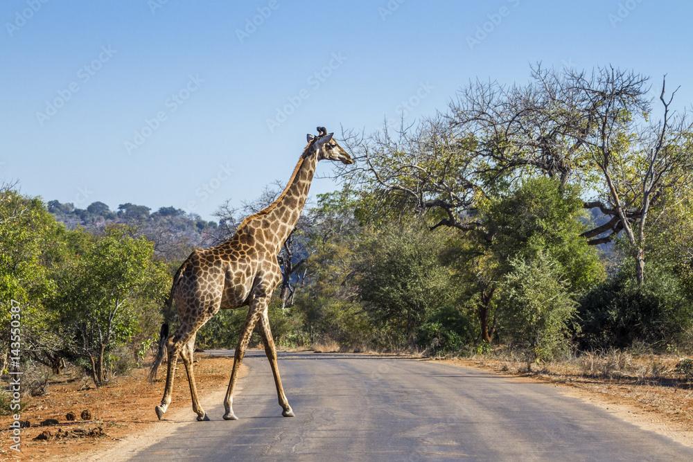 Fényképezés  Giraffe in Kruger National park, South Africa