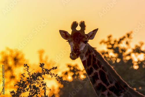 Plakat Żyrafa w Kruger parku narodowym, Południowa Afryka