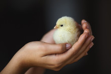 Small Chicken In Female Hands ...