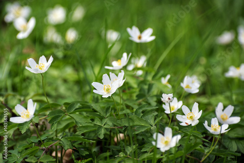Wood Anemone Flowers White Flowering Ground Cover In The Forest In