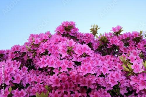 Zdjęcie XXL Różowe kwiatonośne mini azalie w wiośnie, Włochy