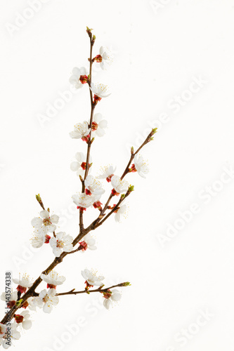 branch of almond blossom плакат