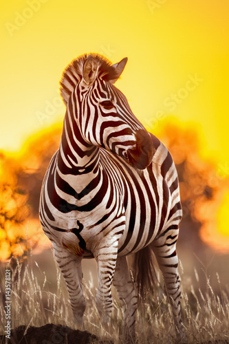 Tuinposter Zebra Plains zebra in Kruger National park, South Africa