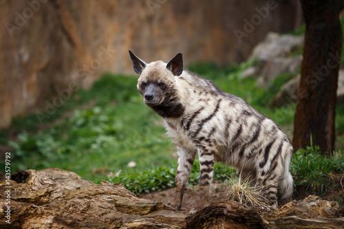 Poster Hyène Striped hyena (Hyaena hyaena sultana)