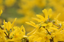 Branch Of Yellow Forsythia On A Blurred Background