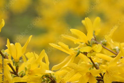 Branch of yellow forsythia on a blurred background Fototapet