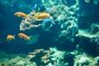 gelbe Fische im Korallenriff