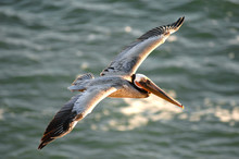 Brown Pelican Soars Off The Co...