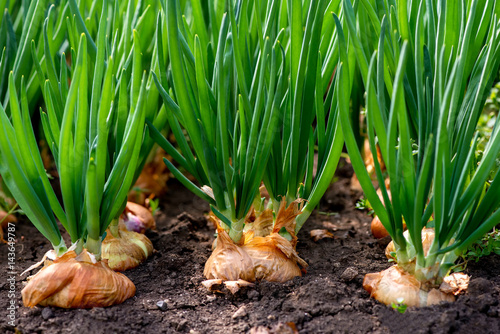 Obraz close-up of onion plantation in a hothouse - selective focus - fototapety do salonu