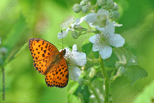Fotografia Brenthis daphne, Marbled Fritillary   butterfly collecting nectar on wild flowers