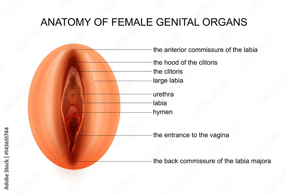 Anatomy Of Female Genital Organs Foto Poster Wandbilder Bei