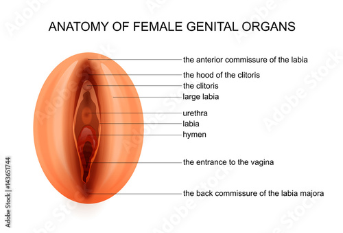 Anatomy Of Female Genital Organs Buy This Stock Vector And Explore