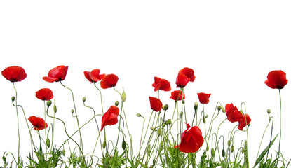 Fototapeta red poppies on white