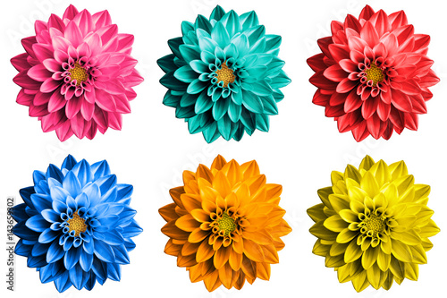 Poster de jardin Dahlia Pack of colored surreal dahlia flowers macro isolated on white