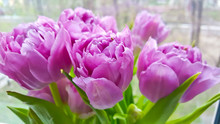 Pink Tulips Group