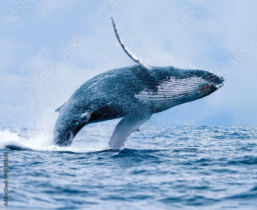 Humpback Whale (Megaptera novaeangliae), Breaching Off Coast of Puerto Lopez, Ec Poster Mural XXL