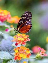 Golden Helicon Butterfly Feedi...