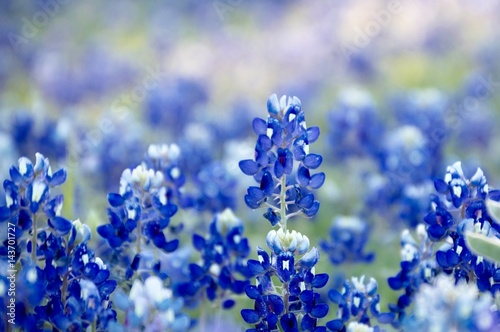 Poster Texas Bluebonnet patch in central Texas