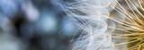 Fototapeta Dmuchawce - Sementes de dente-de-leão.
