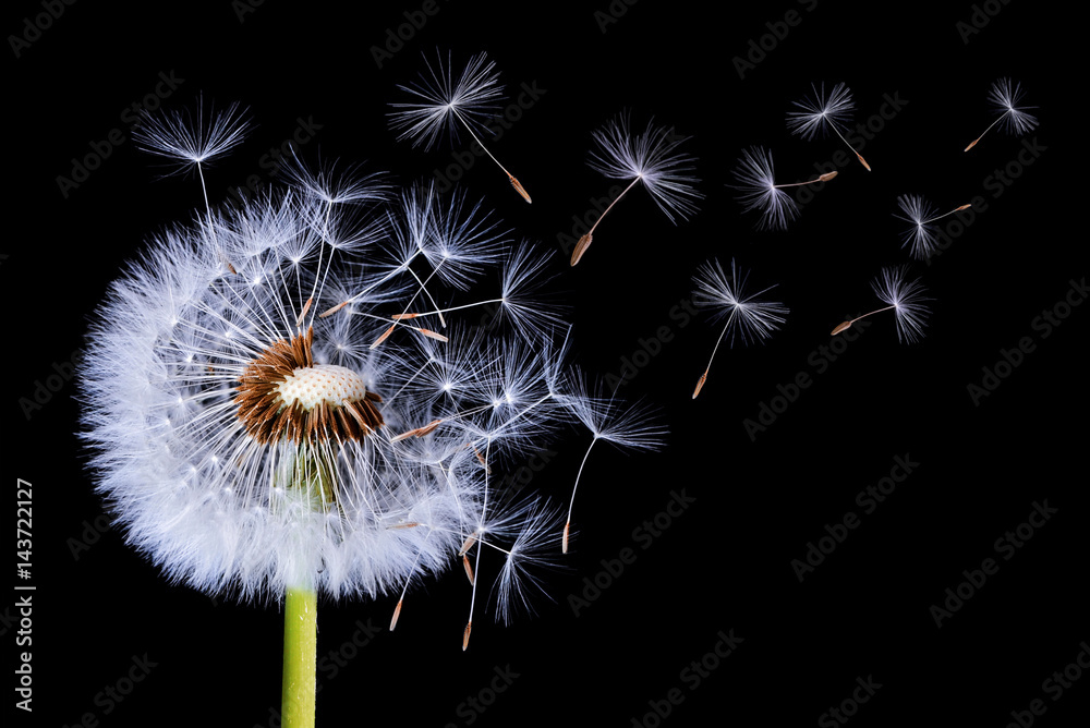 Fototapety, obrazy: Dandelion blowing on black background