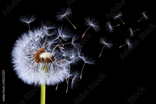 Spoed Foto op Canvas Paardenbloem Dandelion blowing on black background