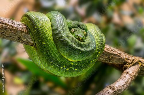 Canvas Print Eine grüne Pythonschlange an einem Ast.