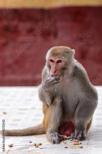 In de dag Burmese monkey in Myanmar