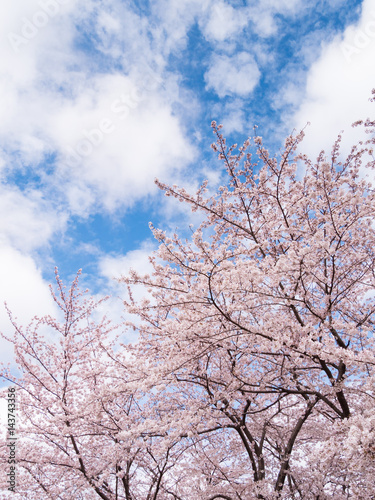 Poster Light pink 桜 花見