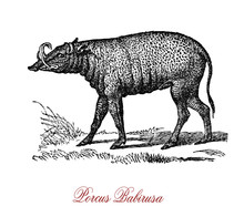 The Porcus Babirusa (Babyrousa Babyrussa) Is A Wild Pig-like Animal Native To The Island Of Buru And The Two Sula Islands Of Mangole And Taliabu, All Belonging To Indonesia.