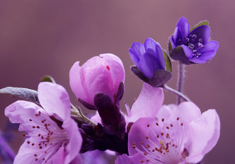 Fototapeta Do biura Wiosenne kwiaty - przylaszczki i kwiaty Wiśni