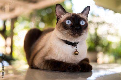 Fotomural Siamese cat