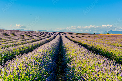 Fotografie, Obraz  panorama of lavender of Provence in France