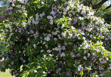 Bush With White And Violet Flo...