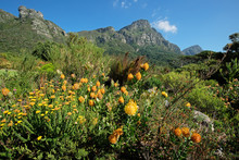 Kirstenbosch Botanical Gardens Against The Backdrop Of Table Mountain, Cape Town, South Africa.