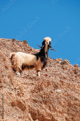 Fotobehang Midden Oosten Medio Oriente, 10/03/2013: una capra arrampicata su una roccia nella Riserva Biosfera di Dana, la più grande riserva naturale della Giordania