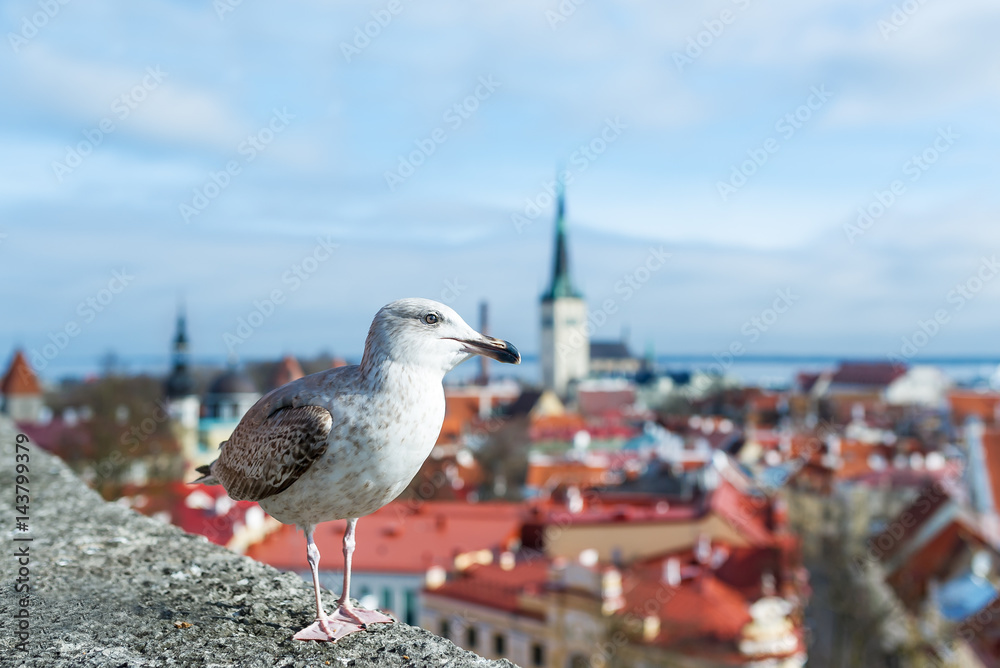 Baltic Seagull at the observation point of Toompea hill.
