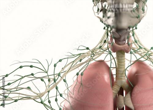 Fotografie, Obraz  Anatomy showing thyroid, trachea, lymph nodes and lungs, upper body