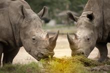 Southern White Rhinoceros (Ceratotherium Simum Simum). Wildlife Animal.