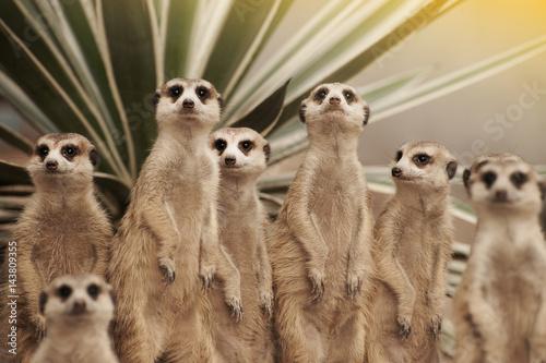 Photo Suricate or meerkat (Suricata suricatta) standing on guard.