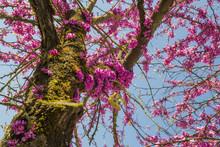 Redbud Tree Flowers Background