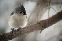Tufted Titmouse In The Snow