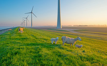 Sheep And Wind Turbines Along A Lake At Sunrise